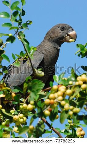 Lesser Vasa Parrot (Coracopsis nigra) feeding on berries at Ifaty, western Madagascar - stock photo