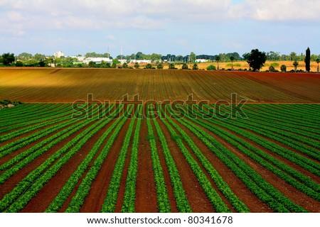 lettuce field in Israel - stock photo