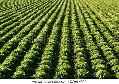 Lettuce field in Spain. Green plants lines perspective, food industry - stock photo