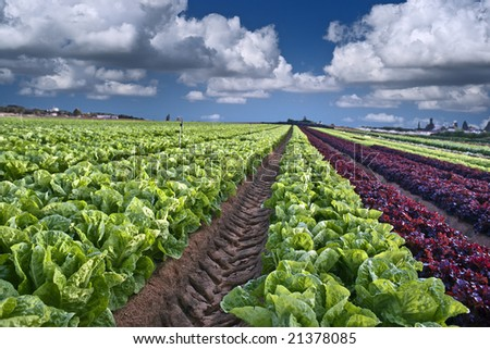 lettuce field in the Sharon region, Israel - stock photo