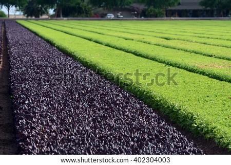 Lettuce growing in a field. - stock photo