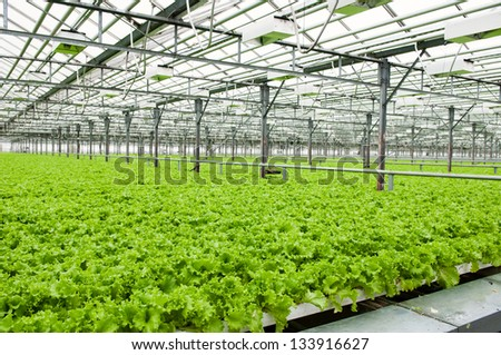 Lettuce growing in greenhouse in Russia - stock photo