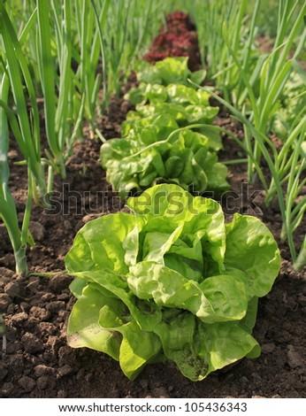 lettuce growing in soil - stock photo