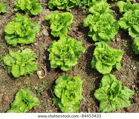 lettuce growing in the soil - stock photo