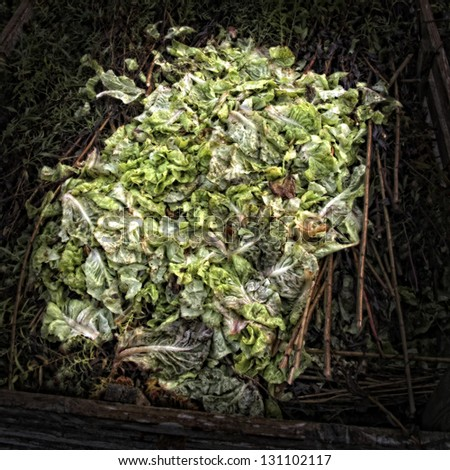 Lettuce leaves on a Compost Heap/Artistically alienated to create a grungy somber atmosphere. - stock photo