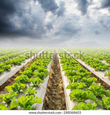 lettuce on field and rainclouds - stock photo