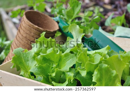 lettuce seedlings with gardening tools in patch for planting - stock photo