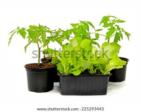 Lettuce & Tomate - stock photo