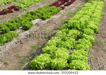 lettuce vegetable salad growing in farmland - stock photo