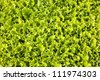 lettuces cultivation for the consumption - stock photo