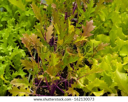 Lettuces growing in vegetable garden - stock photo