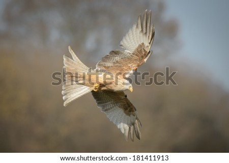 Leucistic form of the Red Kite, soaring on the wing against a blue sky.  This individual bird has been fitted with wing tags when it was still a chick in the nest. - stock photo