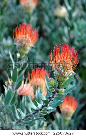 Leucospermum pincushion protea flower - stock photo