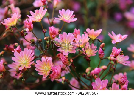 Lewisia Cotyledon also called Cliff Maids - stock photo
