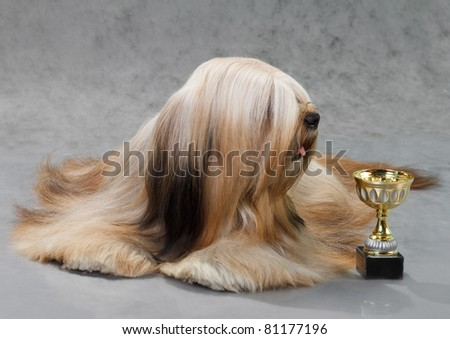 Lhasa Apso dog, lying on a gray background. Not isolated. - stock photo