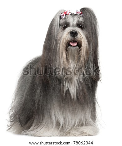Lhasa Apso wearing hairbows, 2 years old, in front of white background - stock photo