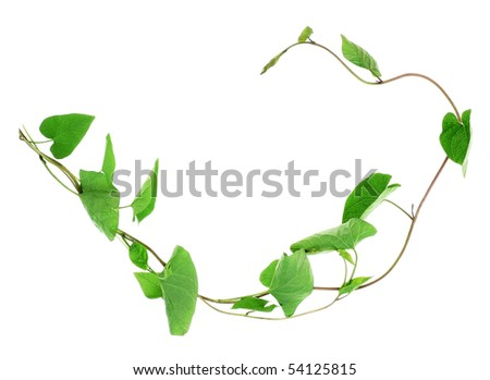 liana plant bindweed - stock photo