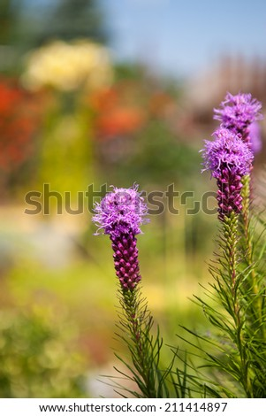 Liatris Spicata close-up of purple flowers against natural background - stock photo