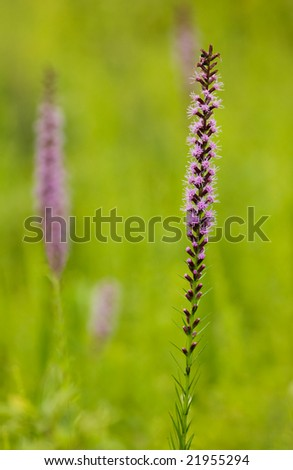 Liatris spicata flower, or Blazing Star, blooming in a meadow. - stock photo