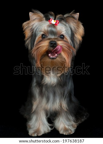Licking puppy of the Yorkshire Terrier on black - stock photo