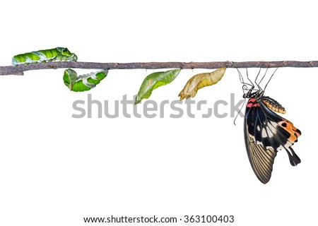 Life cycle of great mormon butterfly from caterpillar - stock photo