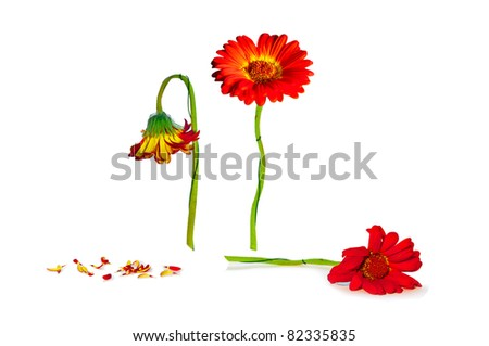 life cycle of herbera flower isolated on white - stock photo