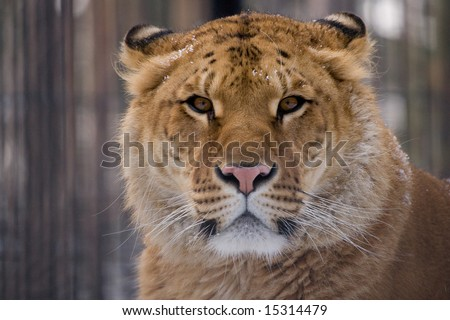 liger looking straight at the camera - stock photo