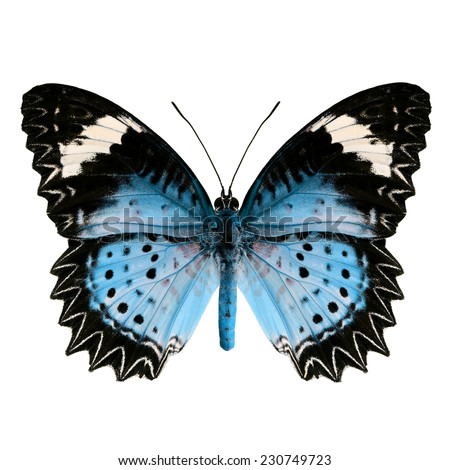 Light Blue butterfly upper wing profile isolated on white background. - stock photo