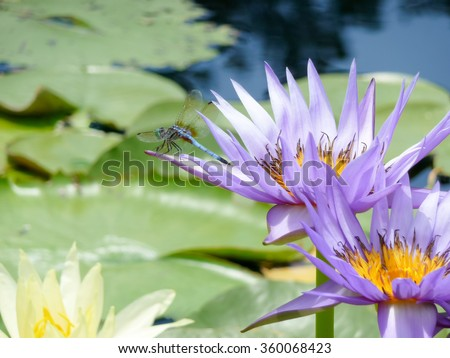 Light blue dragonfly on a purple nymphea waterlily flower, Texas, US - stock photo