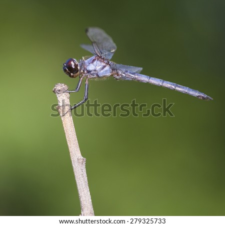 Light blue dragonfly on a stick with a green background - stock photo