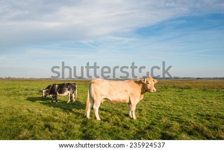 Light brown cow in the foreground and a black spotted cow grazing in the background on a sunny day in the fall season. - stock photo
