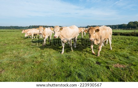 Light brown cows walking to the photographer on a clear and sunny day in the autumn season. - stock photo
