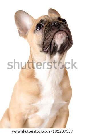 light brown french bulldog before white background - stock photo