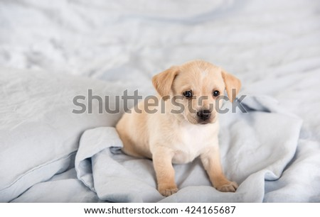 Light Colored Mixed Breed Puppy Sitting on Blue Linen Sheets - stock photo