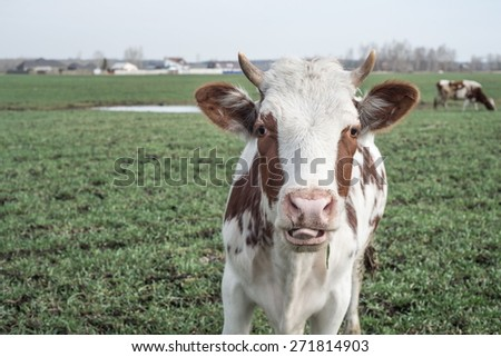 Light cow with tongue gazing at the camera in a pasture - stock photo