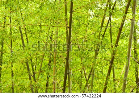 Light green bamboo forest - stock photo