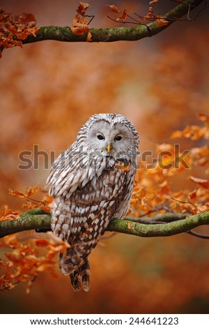 Light grey Ural Owl, Strix uralensis, sitting on tree branch, at orange leaves oak forest - stock photo