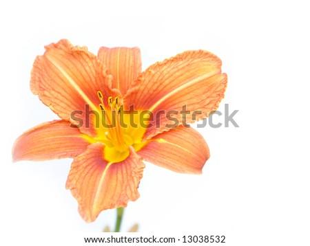 Light orange lily flower isolated on white background - stock photo