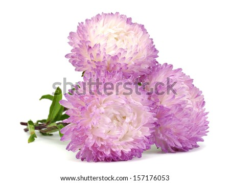 Light pink aster flower on a white background - stock photo