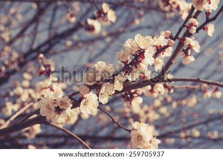 Light pink cherry blossom against blue sky. Spring flowers outdoors toned image - stock photo
