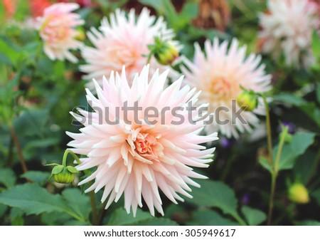 Light pink dahlia flowers - stock photo