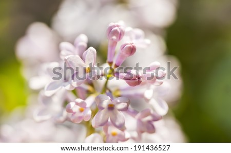 Light pink lilac branch on green leaves in spring closeup - stock photo