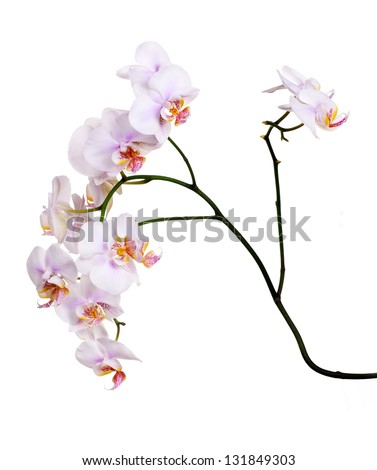 light pink orchid flowers isolated on white background - stock photo