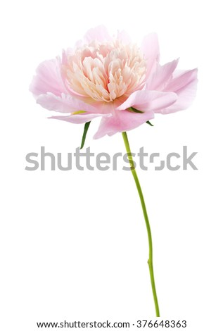 Light pink peony isolated on white background. - stock photo