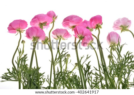 light pink persian buttercup flowers (Ranunculus ) isolated on white background. - stock photo