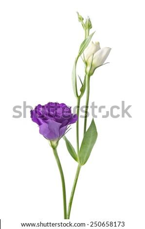 Light purple flowers isolated on white background. eustoma - stock photo
