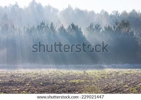 light rays beetwen pine trees landscape - stock photo