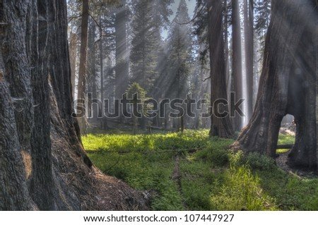 Light rays coming through the trees at Sequoia National Park. - stock photo