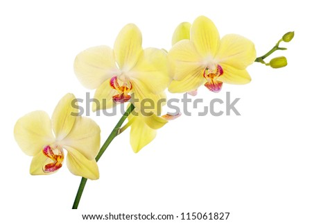 light yellow orchid flowers isolated on white background - stock photo