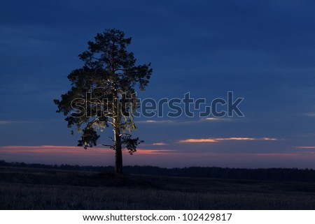 Lighted Pine tree standing in the wheat field on sunset - stock photo